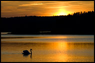 Swan And Sunset On Goksjø, Best of 2007, Norway