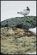 Ptarmigan (Lagopus Muta), Hemsedal In Winter, Norway