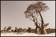 Trees By A Beach, Casamance, Senegal