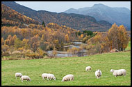 Sheeps In Grøndalen, Autumn In Hemsedal, Norway