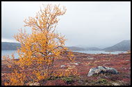 Birch By Vanvatn, Autumn In Hemsedal, Norway
