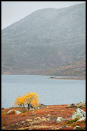 Birch By Vavatn, Autumn In Hemsedal, Norway