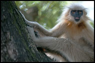Golden Langur, Golden Langur, India