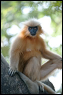 Posing For The Photographer, Golden Langur, India