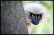 Golden Langur Portrait, Golden Langur, India
