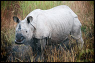 One Horned Rhinoceros, Kaziranga NP, India