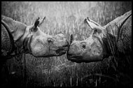 One Horned Rhinoceros, Black And White Snaps, India