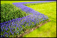 Armenian Grape Hyacinth And Tulips, Keukenhof Gardens, Netherlands