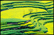 Rapeseed Fields, Luoping, China