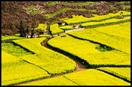 Path Through Rapeseed Fields, Luoping, China