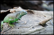 Iguana, Best Of, Guatemala