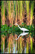 Great Egret, Best Of, Guatemala