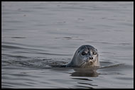 Ringed Seal, Svalbard, Norway