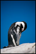 African Penguin, Best Of SA, South Africa