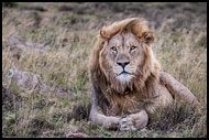 African Lion, Best Of SA, South Africa