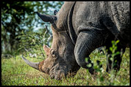 White Rhinoceros, Best Of SA, South Africa