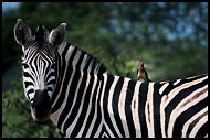 Zebra And Oxpecker, Best Of SA, South Africa