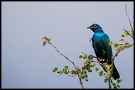 Cape Starling, Best Of SA, South Africa