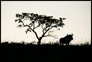 Blue Wildebeest, Best Of SA, South Africa