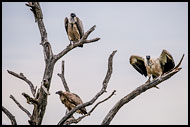 White-Backed Vultures, Best Of SA, South Africa